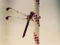 dragonfly_jpg.jpg